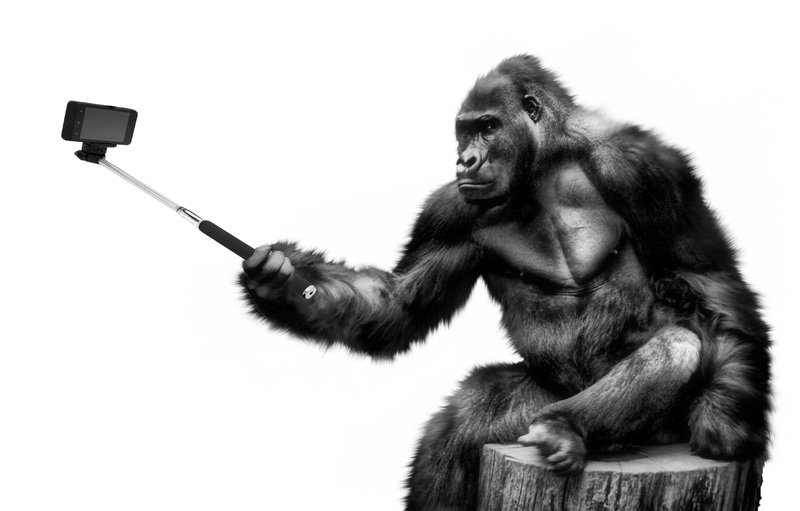 Gorilla with selfie stick
